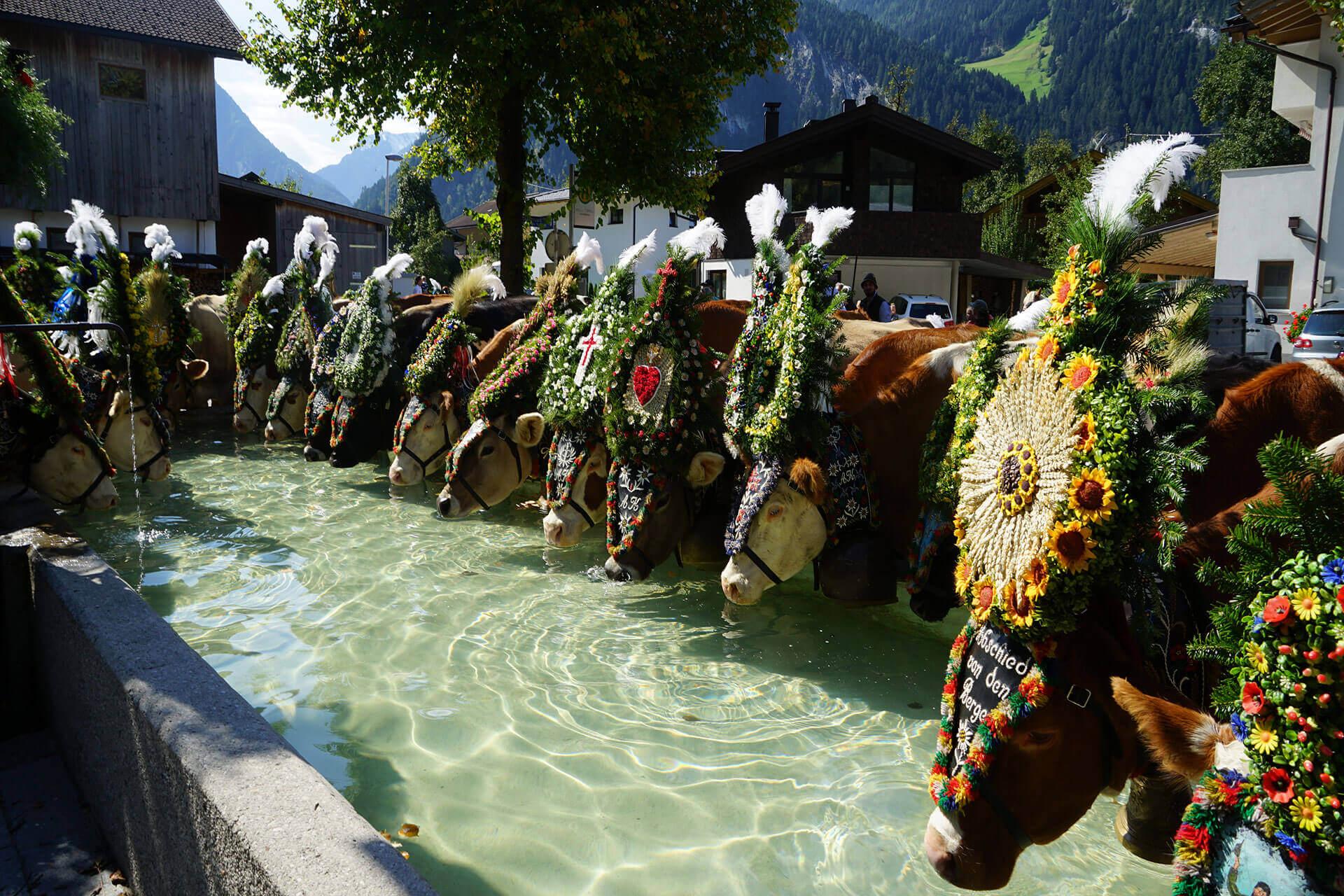 Almabtrieb Mayrhofen